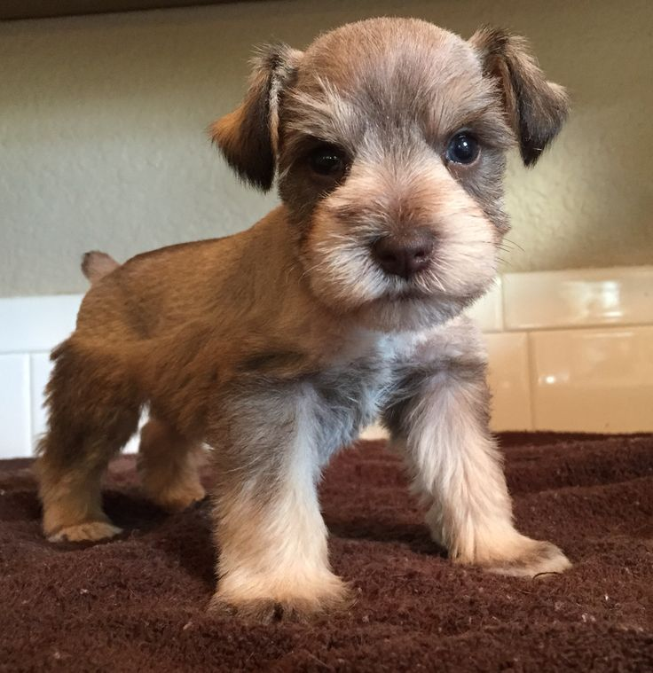 Olaf (4 weeks old mini schnauzer).