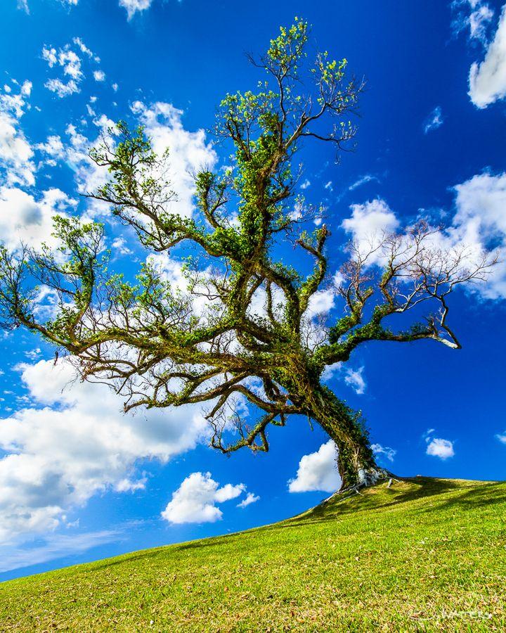 Gajumaru (Banyan Tree) | Kadena, Okinawa Japan。ガジュマル。沖縄。