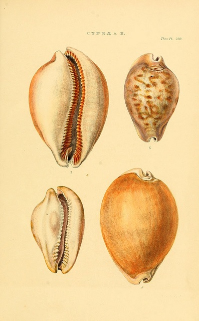 n16_w1150 by BioDivLibrary #nature #shells #scientific #illustration