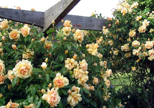 """Crepuscule: """"the Perfect Pergola Rose"""" is a fragrant, thornless climber."""