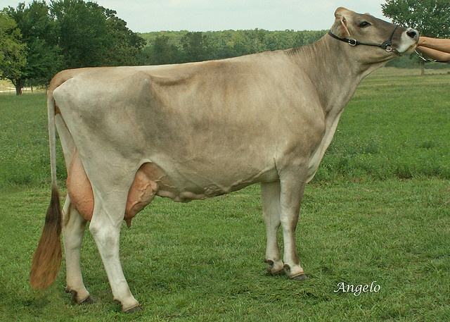 393 best images about Breeds of Cattle on Pinterest ...
