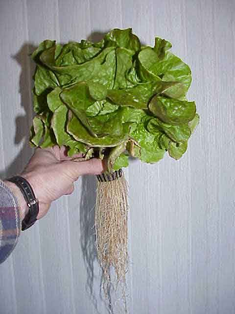 The Aeroponic Wall System