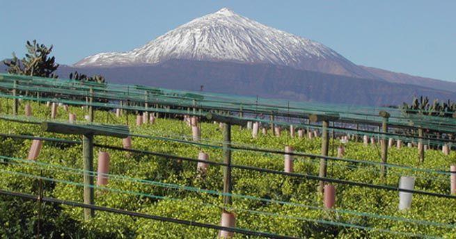 Precioso viñedo de #Tenerife... #Enoturismo