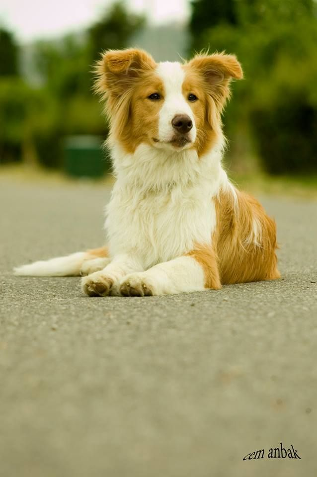Red White Border Collie Lobo 6 Months