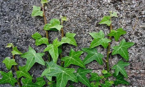 Fare un infuso d'edera è il rimedio naturale più efficace contro i parassiti delle piante. Ecco la ricetta.