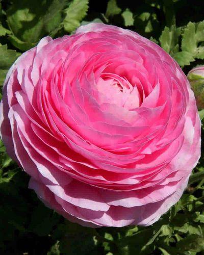 Ranunkel rosa - pfingstrosen-blumig gefüllt von Gartencenter Koeman auf…