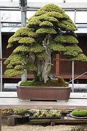 Este es uno de los más famosos bonsai. Mr. Shinji Suzuki declinó una oferta de más de medio millón de dólares para este árbol.