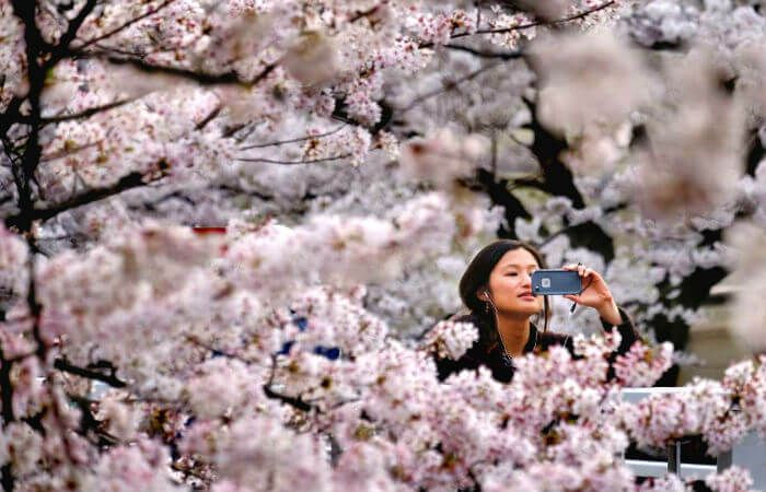 This Jaw Dropping Festival Of Spring In Japan Is Like A Fairytale Japan Japancherryblossom Japan Cherry Blossom Season Cherry Blossom Season Cherry Blossom