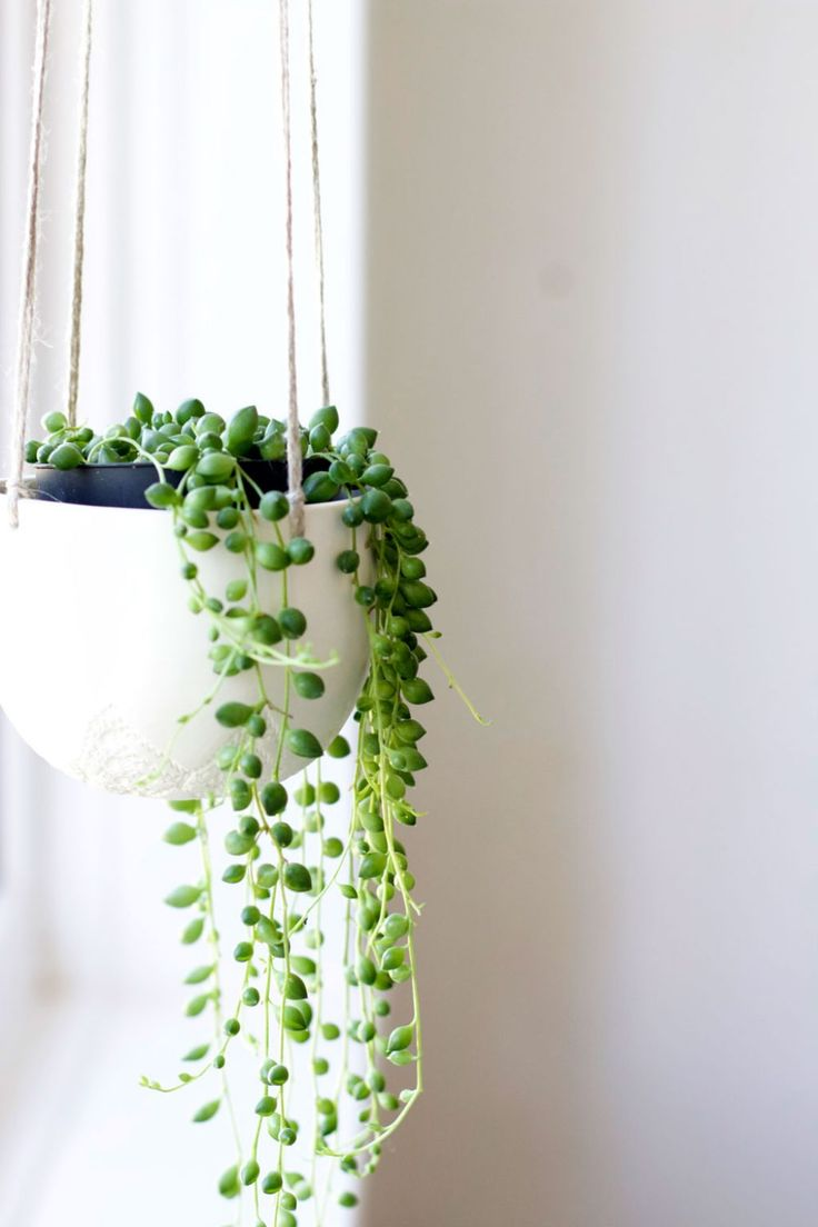 Hanging String Of Pearls In The Pot