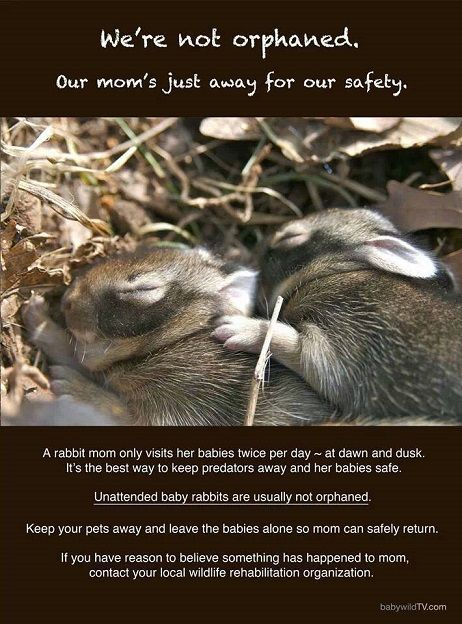Cottontail rabbits nest from now till fall. Don't burn ...
