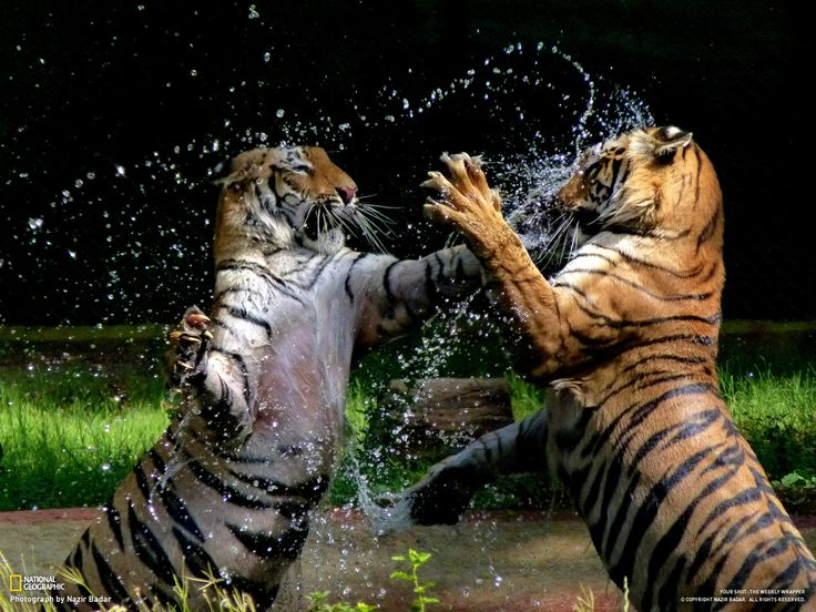 Bengal Tigers From National Geographic Wildlife Cats Animals