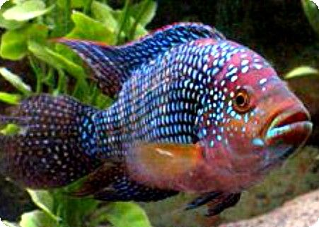 Colorful South American Cichlids | Re: New Cichlid tank! NEED HELP!