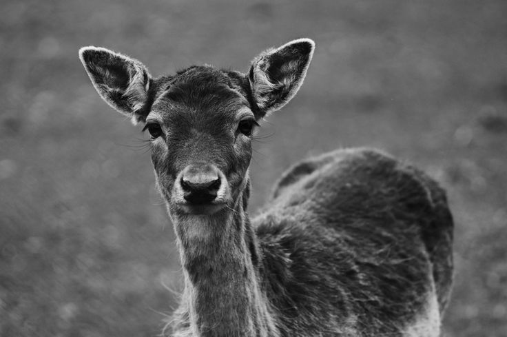 Fallow-deer by Martin Gallie on 500px