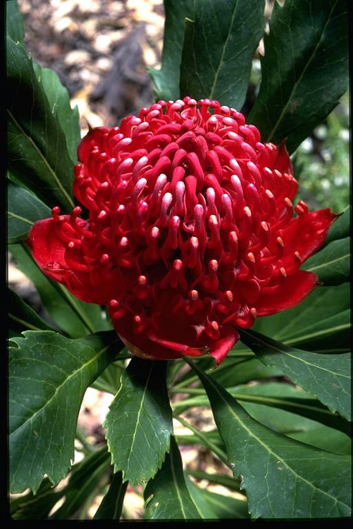 Waratah:  Telopea speciosissima 'Fire and Brimstone', close up, flowers, leaves -- photo © contact APII