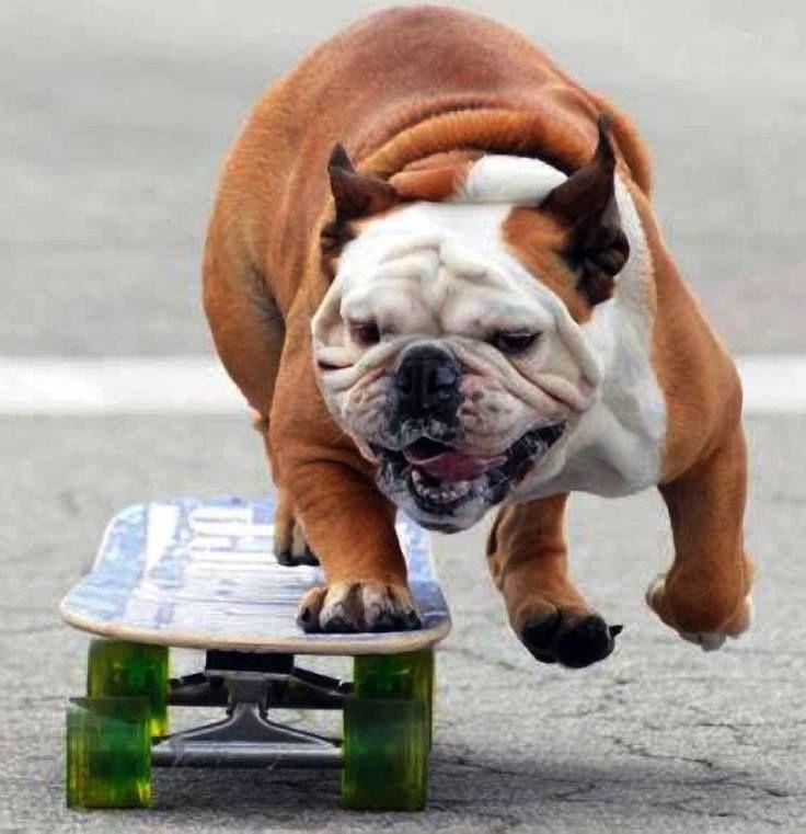 Divertido perro, Boxer, que anda en monopatín.