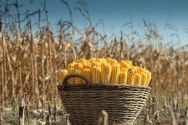 Plantio de milho - saiba qual é a época adequada para se plantar milho em todas as regiões do país  #alcanceosucesso