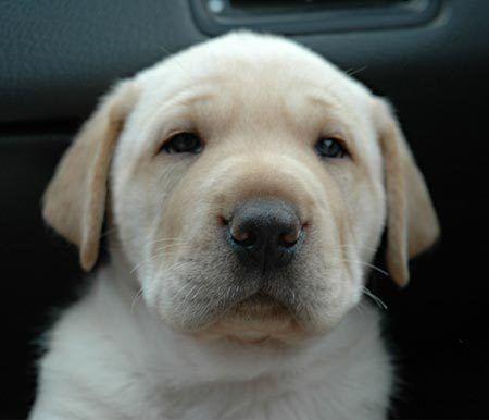 Jacques the Labrador/Shar-Pei Mix