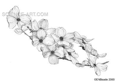 dogwood flower tattoo - Google Search