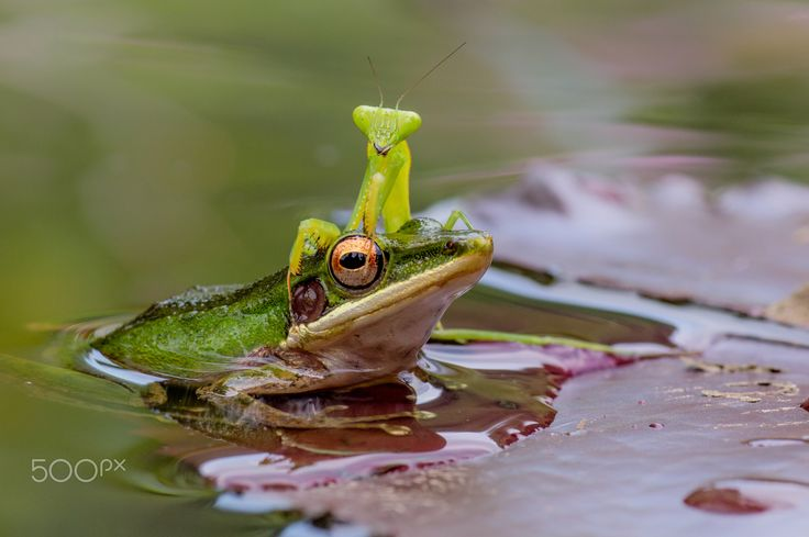 Good Friendship - Praying mantis-frog in natural shot