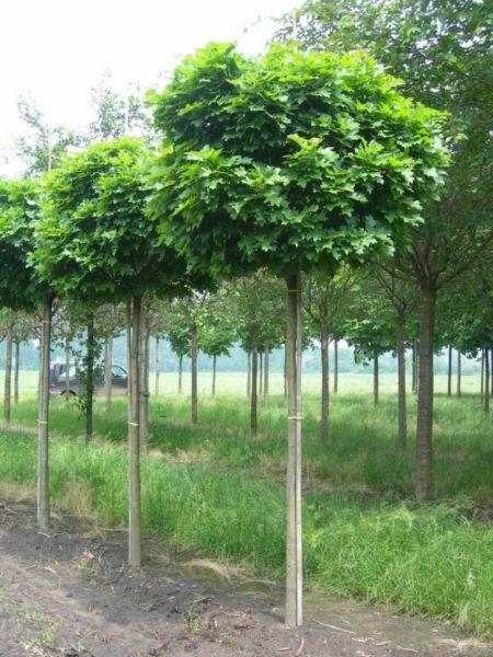 Quercus palustris 'Green Dwarf' - boleik, moeraseik bolvorm - Bolbomen, Bomen, Planten op stam | Maréchal