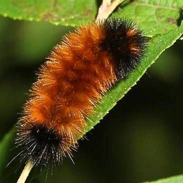 Wooly Caterpillar...saw this today on my walk with Silas. Great meaning in such a small creature!