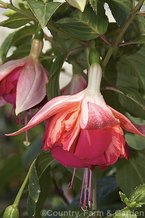 Fuchsia 'Cheers', a double-flowered hybrid introduced in 1979 by Stubbs of the United States. It is a rather lax upright bush that can be trained as a trailer. The flowers are large.