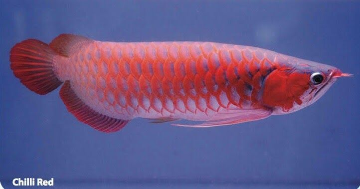 Makanan Ikan Arwana Pakan Merupakan Faktor Yang Paling Penting