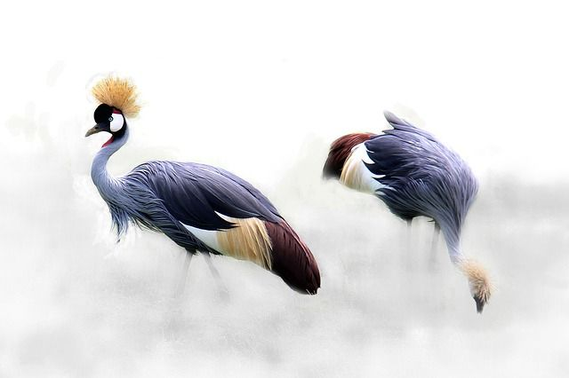 Grey Crowned Crane, Cranes, Bird, Africa, Tanzania copyright free images no attribution required