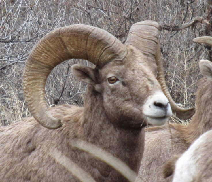 california bighorn okanagan - Google Search