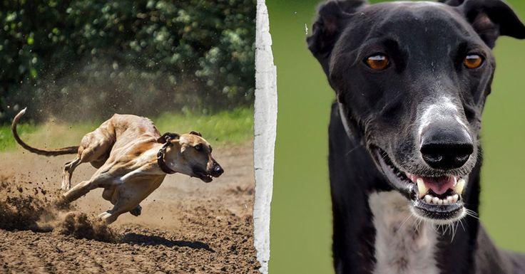 Biggest Greyhound Drug Case In U.S. History Uncovered In Florida