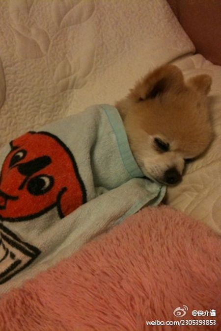 Pomeranian Puppy Adorable Meter Is Off The Charts