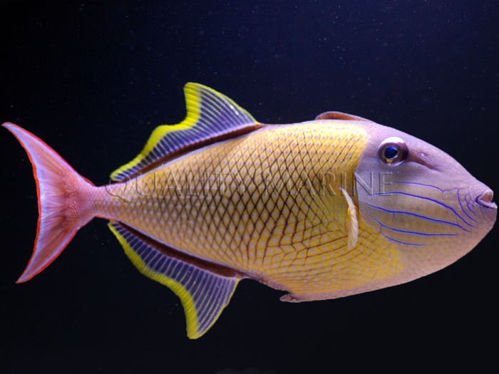 1413 best images about fish and tanks on pinterest for Types of saltwater fish to eat