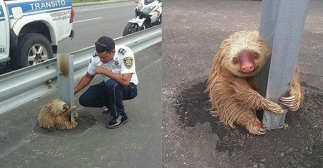 Adorable Sloth Rescued From Busy Highway