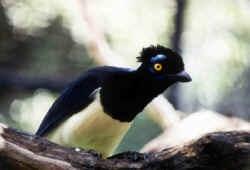 PCJay:  Indri Brevicaudatus,  Indris,  Indri Indri