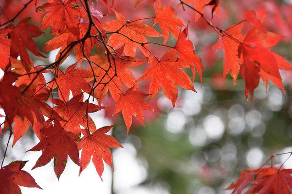 The brilliant reds of autumn... Nature art prints for your home or office decor by Keith Boone.