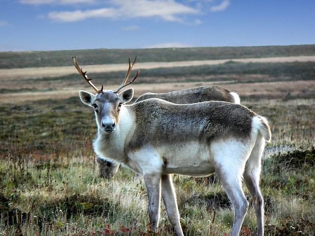 Caribou near Cape Race by Newfoundland and Labrador Tourism, via Flickr