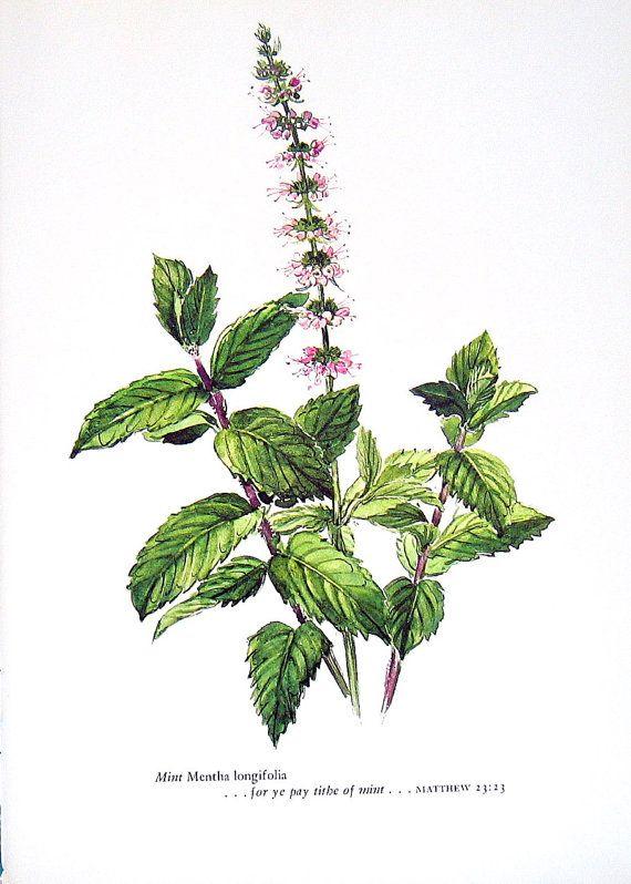 botanical mint drawings - Google Search