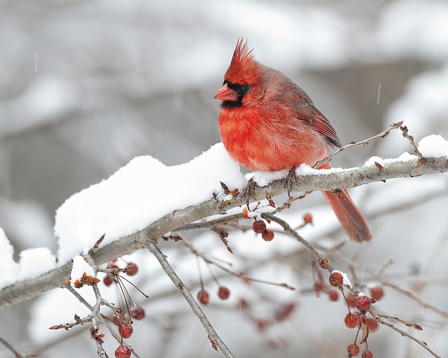 Cardinal in snow owls and birds pinterest - Pictures of cardinals in snow ...