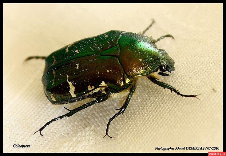 навозный жук (Coleoptera)
