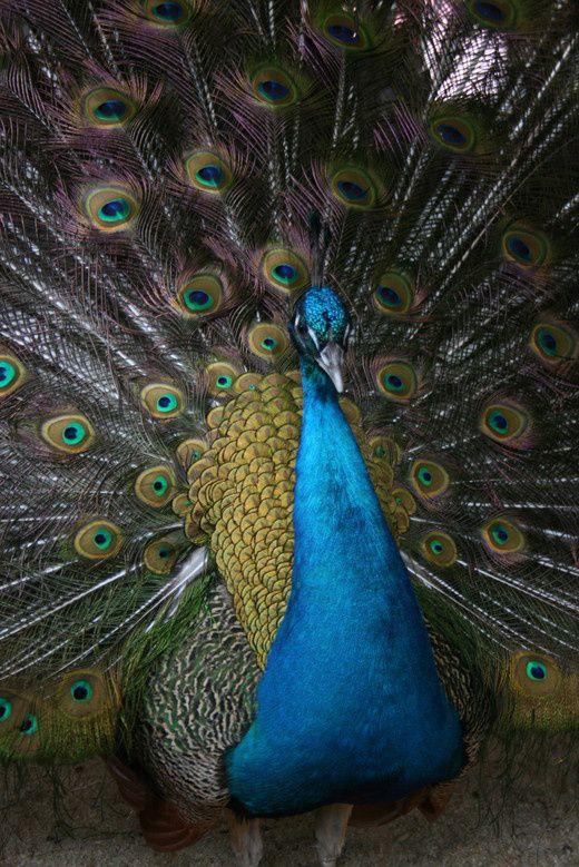 riikinkukko intian sininen