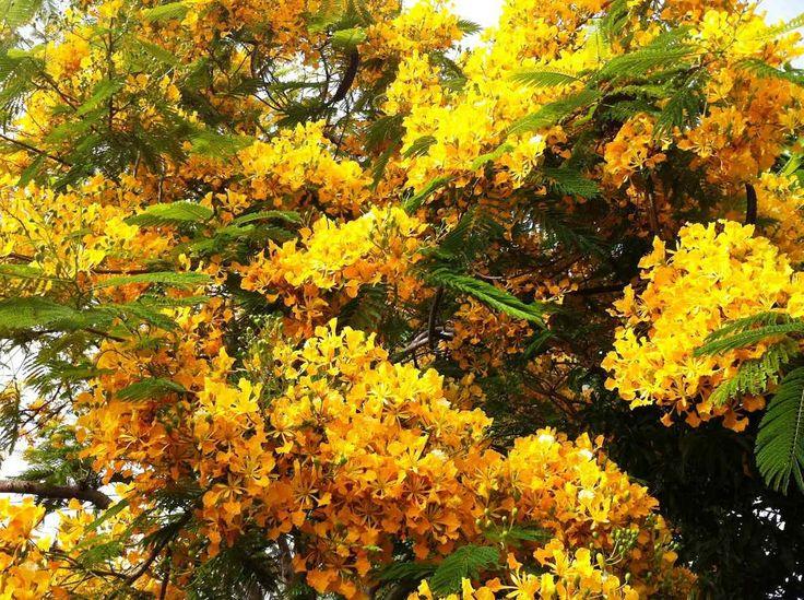 Arbol de fuego amarillo chivato delonix regia semillas for Arbol de fuego jardin