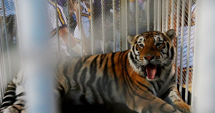 The mascot community has certainly given its due attention to LSU's Mike the Tiger since the announcement of hisrare form of cancer. LSU has been treating