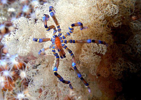 Aranhas marinhas na realidade não são aracnídeos, mas sim artrópodes marinhos da classe Pycnogonida. Há mais de 500 espécies que são encontradas em todos os oceanos e águas profundas do mundo, variando de tamanhos desde 1 mm até cerca de 60 cm. Elas se alimentam de anêmonas, esponjas e pequenas ascídias.