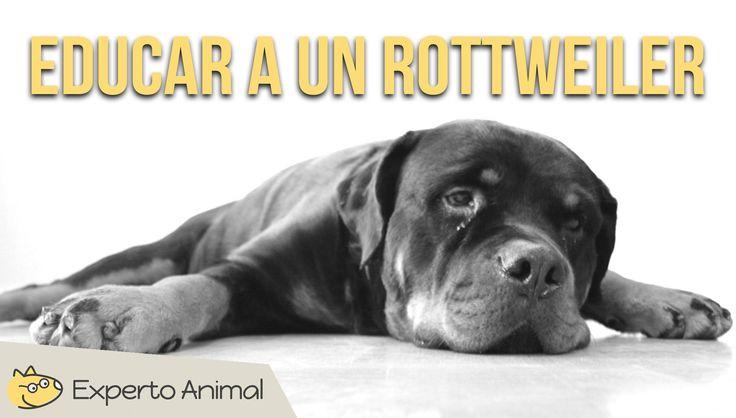 Si has decidido adoptar un rottweiler cachorro o a un ejemplar adulto, debes saber que es muy importante trabajar con él la educación y el adiestramiento bás...