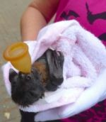 Save the koala? Then start protecting Flying Foxes — Bats_Rule! Help Save WildLife
