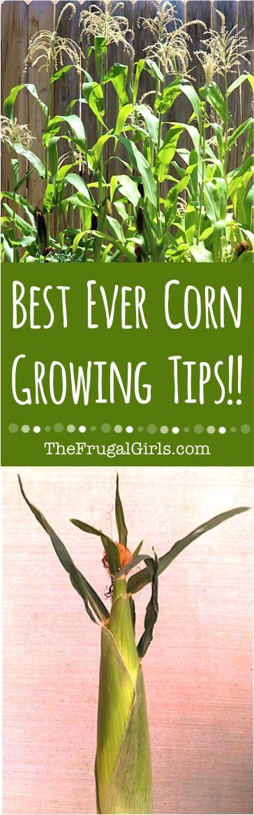 Corn Gardening Tips!  Easy tips and best insider tricks for growing delicious corn in your garden this year!   TheFrugalGirls.com