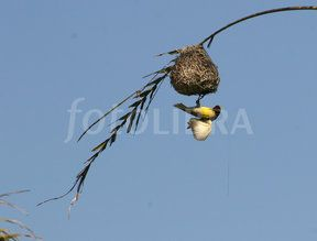Images like 'STOCK DOVE Columba oenas PERCHED ON NEST' (Showing 1 ...