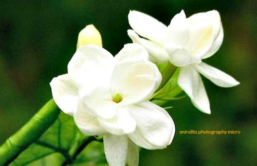 melati flower, famous flower in Indonesia