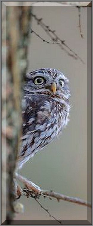 beautiful OWL  ( Steinkauz )   #Fotograf: Ziny