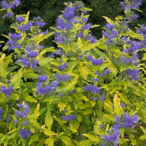 155 best images about blue gardens on pinterest indigo - Plants with blue flowers a splash of colors in the garden ...